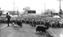 sheepcrossingTOMrprk